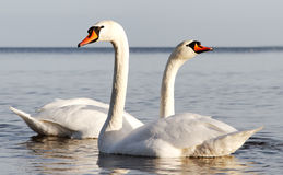 Swans. Royalty Free Stock Photography