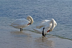 Swans Royalty Free Stock Photography