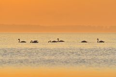 Swans. Six swans in the sunset Royalty Free Stock Image