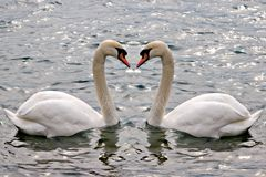 Swans. A couple of swans swimming. Concept: relationship / love Stock Photography