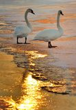 Swans. Two swans in the winter Royalty Free Stock Photography