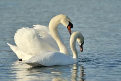 Swans. Two swans in love at the sea Royalty Free Stock Photos