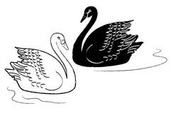 Swans vector. Illustration of white and black swans swimming, isolated + vector eps file Royalty Free Stock Images