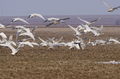 Swans. In flight over fields Stock Images
