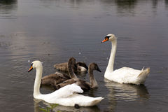 Swans. Swan family on a trip on the water Stock Photography