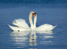 Swans. Beautiful pair of swans on the water Stock Image