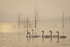 Swans. Big Swan is a migratory bird, there is no subspecific differentiation, spring and autumn in northern China, Russia Siberian breeding sites and wintering Royalty Free Stock Photography