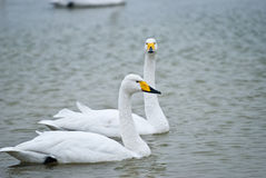 Swans. Big Swan is a migratory bird, there is no subspecific differentiation, spring and autumn in northern China, Russia Siberian breeding sites and wintering Stock Image