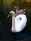 Swans. Two swans swimming in water Royalty Free Stock Photos
