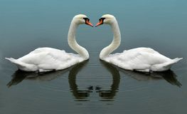 Swans. Swimming together and creating the image of a heart between them royalty free stock photography