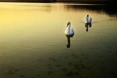 Swans. Two swans swimming in the gold sunset Stock Images