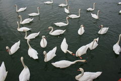 Swans. A group of swans in a lake Royalty Free Stock Photo