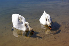 Swans. A pair of swans drinking water from the clear forest lake Stock Photo