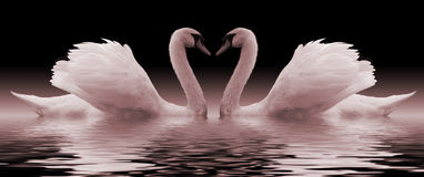 Swans. Loving swans forming a heart Stock Photography