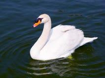 swans fotografia stock libera da diritti