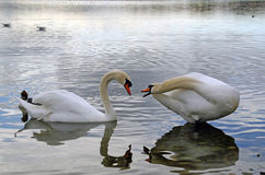 Swans. In Lake Constance, Germany Royalty Free Stock Photo
