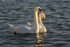 Swans. Two swans, symbol of love and devotion Stock Photos