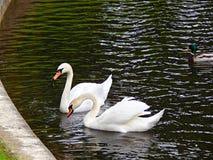 swans Arkivbilder
