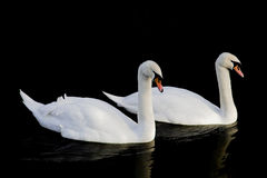 Swans. Pair of swans Royalty Free Stock Images