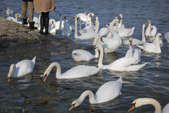 Free Swans Stock Photo - 48491100
