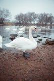 swans Stock Afbeelding