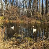 swans Royaltyfria Foton