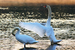 Swans. Two Swans in the Morning Stock Images