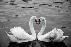 swans Royaltyfri Foto