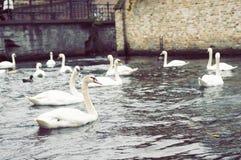 swans Fotografering för Bildbyråer