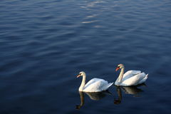 Swans. A photo of two swans on blue water Royalty Free Stock Photography