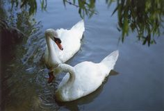 Swans. There are two swans on the lake royalty free stock photos