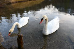 swans Fotografie Stock Libere da Diritti