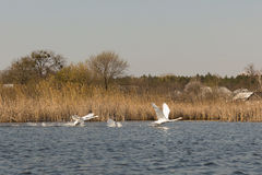 swans royalty-vrije stock afbeeldingen