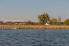swans royalty-vrije stock fotografie