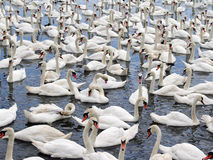 Free Swans Royalty Free Stock Photography - 5870827