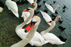 Free Swans Royalty Free Stock Photo - 625205