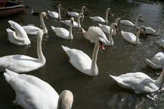 swans 1 Royaltyfria Bilder