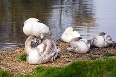 Swans Stock Photos