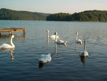 Swans. On the lake Royalty Free Stock Photo