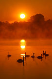 Swans. At beautifull sunrise sky Royalty Free Stock Images