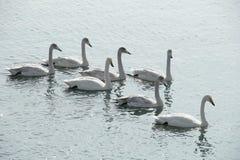 swans stock fotografie