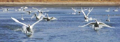 swans royalty-vrije stock afbeelding