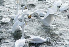 swans immagine stock