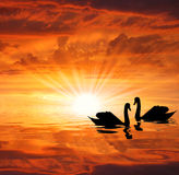 Swans. The silhouettes swans under the sun Royalty Free Stock Image