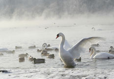 Swans. And ducks on ice Stock Images