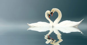 Swans. Two swans touching head to head forming a heart shape Royalty Free Stock Image