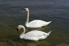 Swans. Two swans royalty free stock images