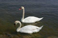 swans Royaltyfria Bilder
