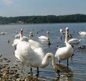 swans Stock Foto