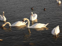 swans Royaltyfri Fotografi